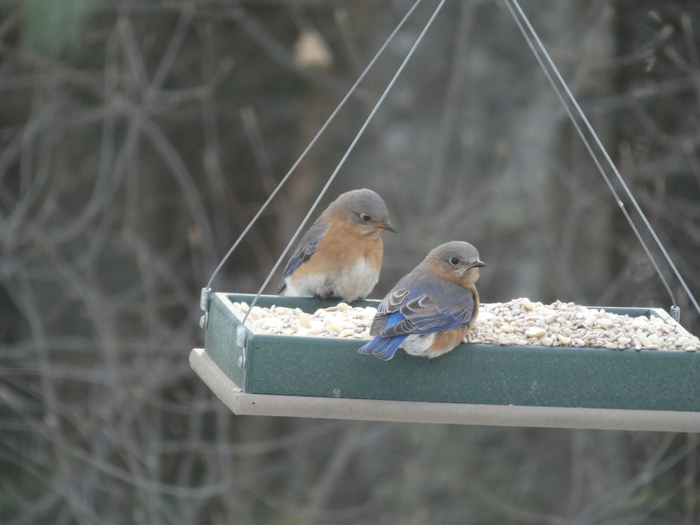 Bluebirds at the HMS feeder.