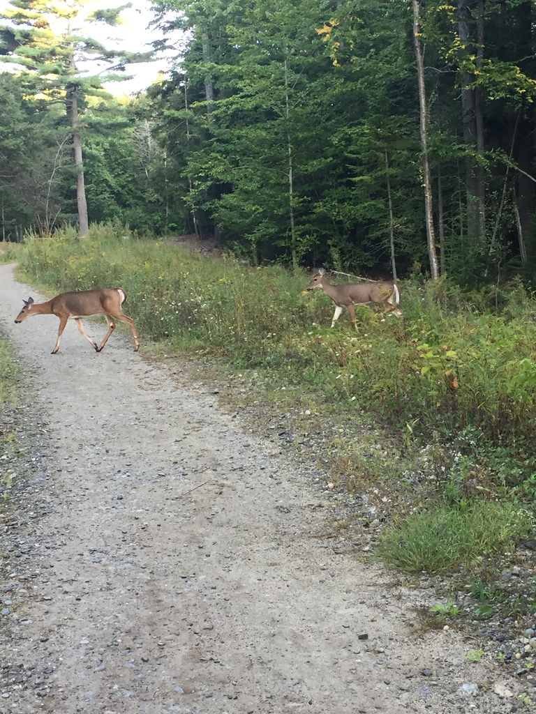 Deer near HMS this morning