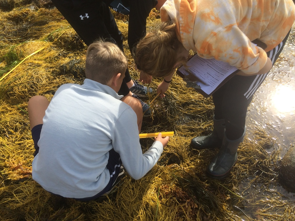 Seventh grade students at Sandy Point Beach, measuring rockweed growth.