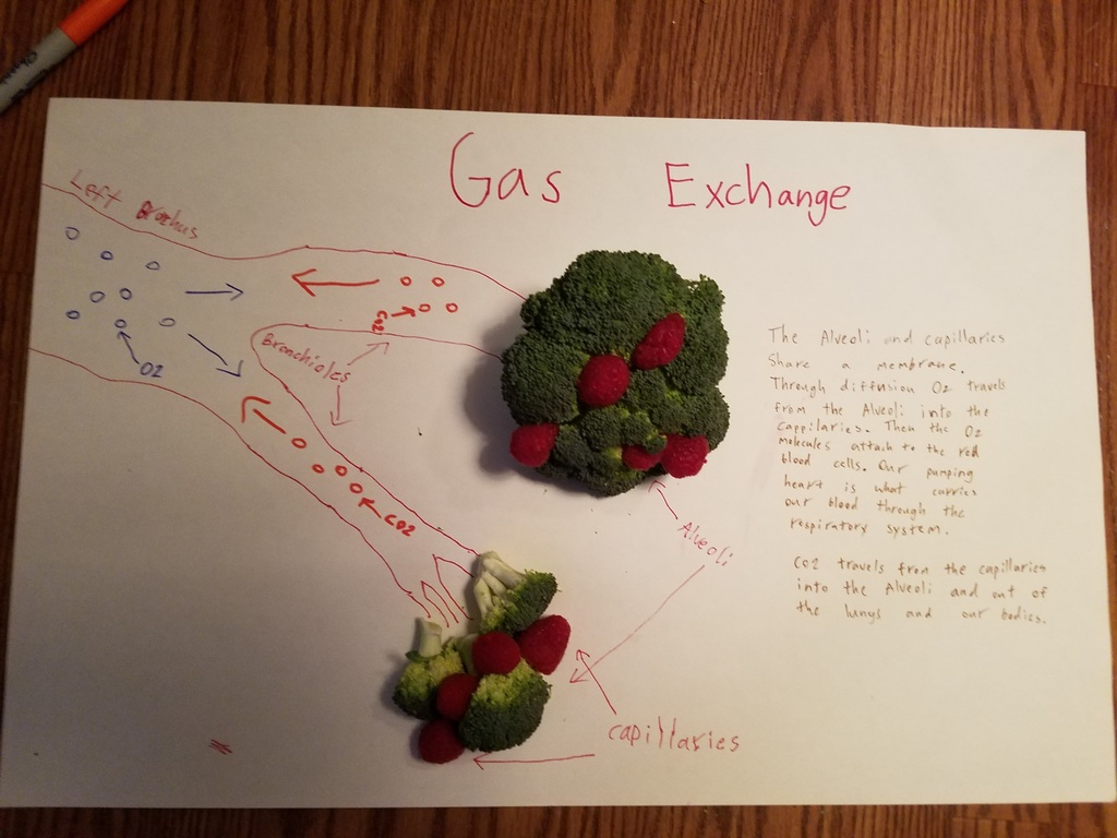 Representations of gas exchange in the lungs by our 7th graders