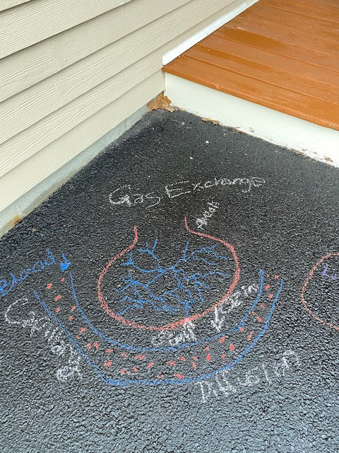 Sidewalk chalk drawing of gas exchange in the lungs