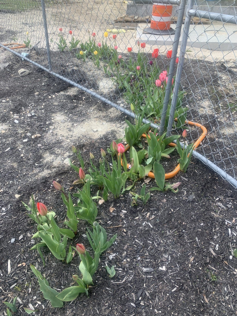 Tulips in and around fence